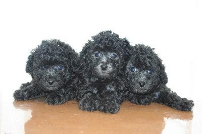トイプードルシルバー(グレー)の子犬オス1頭メス2頭、生後6週間画像
