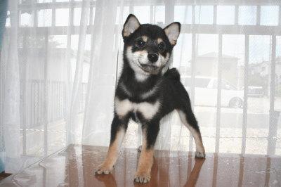 柴犬の黒色の子犬オス、生後3ヶ月画像