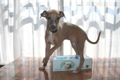 イタリアングレーハウンドフォーン(茶色)の子犬オス、生後2ヶ月画像