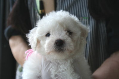 ビションフリーゼの子犬メス、生後5週間画像
