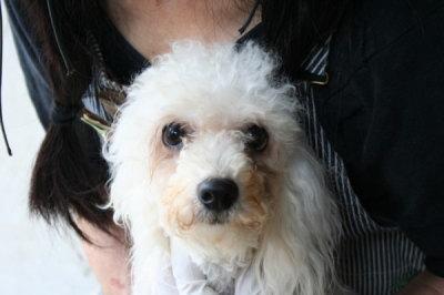 ビションフリーゼの成犬メス画像