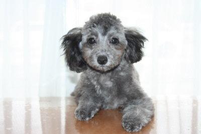 トイプードルシルバー(グレー)の子犬オス、生後4ヶ月画像