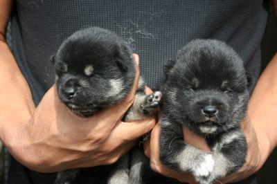 柴犬黒色の子犬オス、生後10日画像