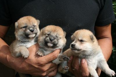 柴犬茶色(赤)の子犬オスメス、生後3週間画像