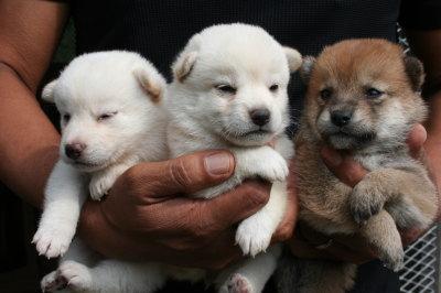 柴犬白色のメス2頭茶色メス1頭の子犬、生後3週間画像