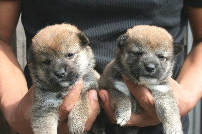 柴犬茶色(赤)の子犬メス2頭、生後3週間画像