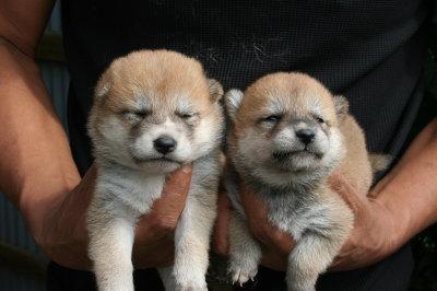 柴犬茶色(赤)の子犬メス2頭、生後4週間画像
