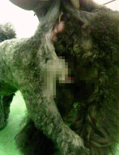 ティーカッププードルブラウン犬の交配画像