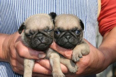 パグフォーンの子犬オス2頭画像