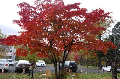 北海道大学銀杏並木画像