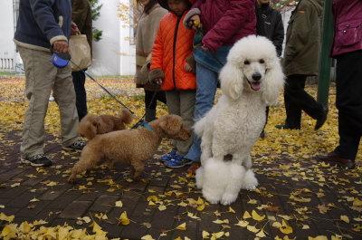 スタンダードプードルホワイト成犬メスとトイプードルレッドメス成犬2頭画像