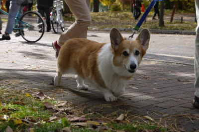 ウェルッシュコーギー成犬メス画像