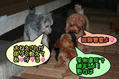 ティーカッププードルレッドの交配犬種オス画像