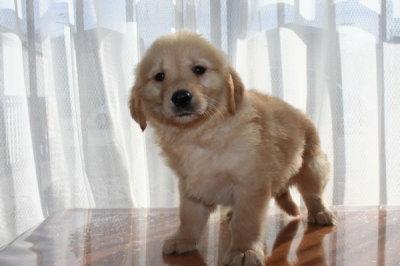 ゴールデンレトリバーの子犬オス、生後45日画像