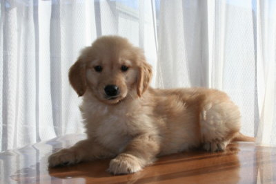 ゴールデンレトリバーの子犬オス、生後2ヶ月画像