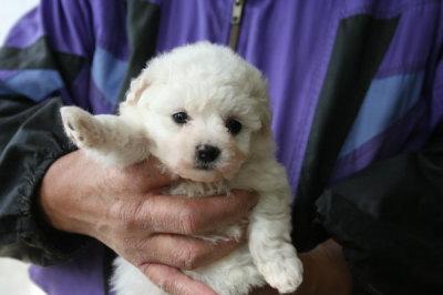 ビションフリーゼの子犬メス、生後1ヶ月画像