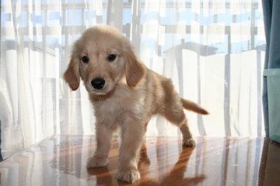 ゴールデンレトリバーの子犬オス、生後70日画像