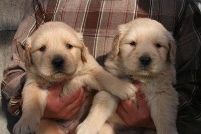 ゴールデンレトリバーの子犬メス2頭、生後1ヶ月弱画像