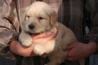 ゴールデンレトリバーの子犬メス、生後1ヶ月弱画像