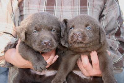 チョコラブ(ラブラドールチョコレート色)の子犬オス2頭、生後1ヶ月弱画像