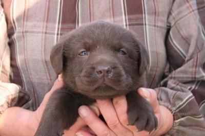 チョコラブ(ラブラドールチョコレート色)の子犬オス、生後1ヶ月弱画像