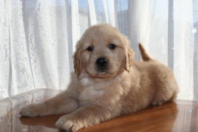 ゴールデンレトリバーの子犬メス、生後45日画像