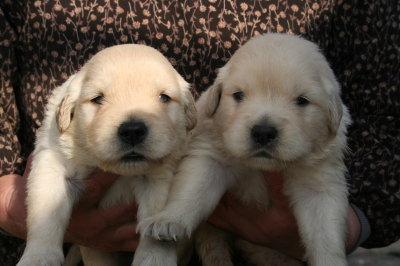 ゴールデンレトリバーの子犬オスメス、生後3週間画像