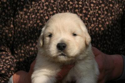 ゴールデンレトリバーの子犬メス、生後3週間画像