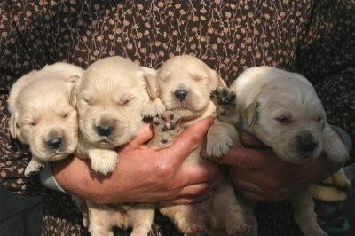 ゴールデンレトリバーの子犬オス2頭メス2頭、生後2週間画像
