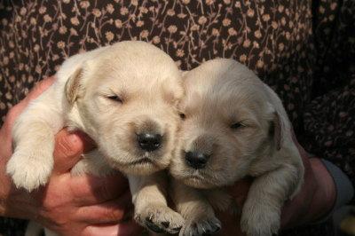 ゴールデンレトリバーの子犬オス2頭、生後2週間画像