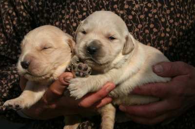 ゴールデンレトリバーの子犬メス2頭、生後2週間画像