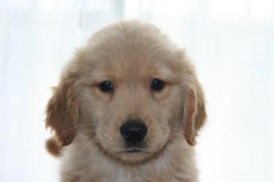 ゴールデンレトリバーの子犬メス、生後2ヶ月画像