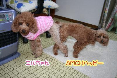 トイプードルレッド犬の交配、種オスAMCHハッピー画像