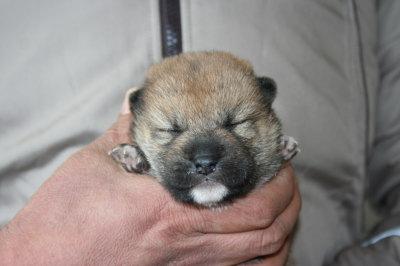 柴犬茶色(赤)の子犬オス、生後2週間画像