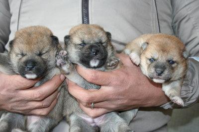 柴犬茶色(赤)の子犬オス1頭メス2頭、生後2週間画像