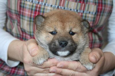 柴犬茶色(赤)の子犬オス、生後4週間画像