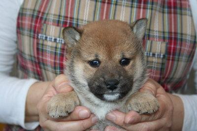 柴犬茶色(赤)の子犬メス、生後4週間画像