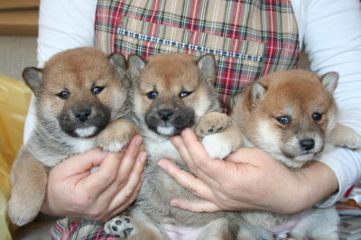 柴犬茶色(赤)の子犬オス1頭メス2頭、生後4週間画像