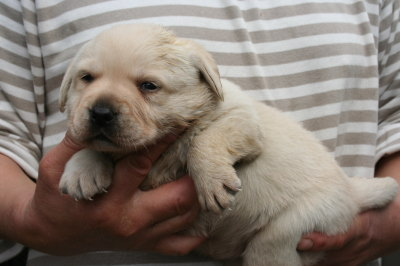 ラブラドールイエロー(クリーム)の子犬メス、生後3週間画像