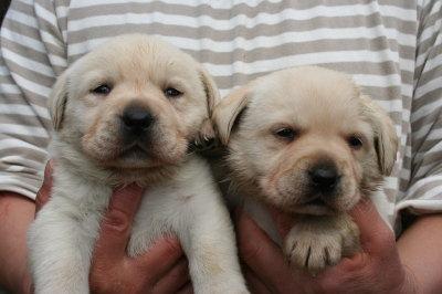 ラブラドールイエロー(クリーム)の子犬オスメス、生後3週間画像