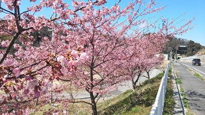 千葉の河津桜画像