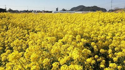 千葉県南房総市の菜の花画像