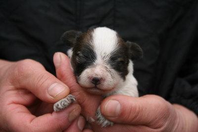 パピヨン白茶の子犬メス、生後10日画像