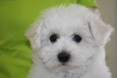 ビションフリーゼの子犬オス、生後70日画像