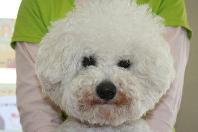 ビションフリーゼの成犬オス画像
