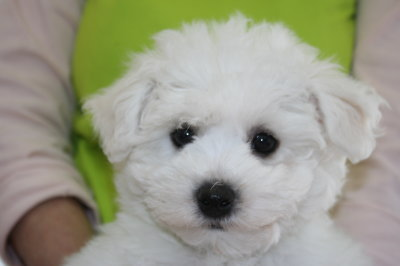 ビションフリーゼの子犬オス、生後80日画像