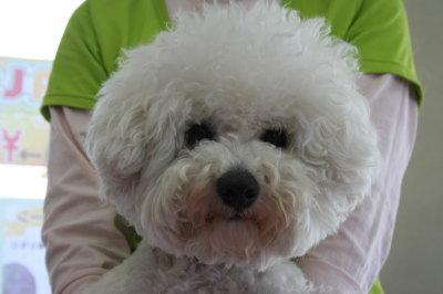 ビションフリーゼの成犬画像