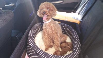 トイプードルレッドの子犬、生後3日画像