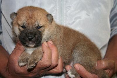 柴犬茶色(赤)の子犬オス、生後3週間画像