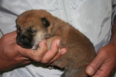 柴犬茶色(赤)の子犬メス、生後2週間画像